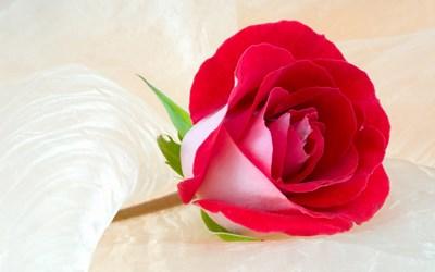 rosas para regalar en facebook