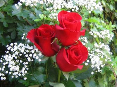 rosas para regalar en facebook5